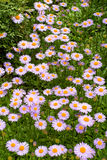 Purple daisies Royalty Free Stock Photos