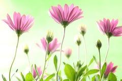 Purple daisies Royalty Free Stock Image