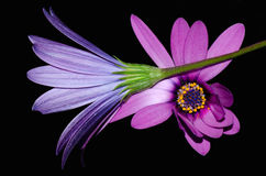 Purple Daisies. Two tone purple daisies over black Royalty Free Stock Photography