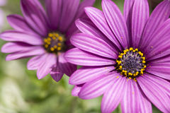 Purple Daisies Stock Photo