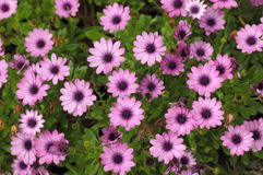 Purple daisies. In full bloom stock photos