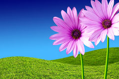 Purple Daisies. Two purple daisies in a green grass field and blue sky Royalty Free Stock Images