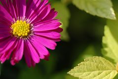 Purple daisies Royalty Free Stock Image