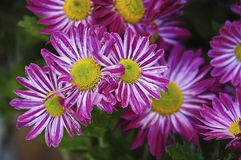 Purple daisies. Closeup of purple daisies in the garden Stock Images