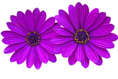 Purple daisies with copy space Royalty Free Stock Images