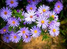 Purple daisies Stock Photos