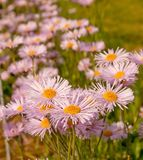 Purple daisies in field Stock Photo