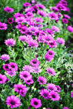 Purple daisies flowers. background picture. Royalty Free Stock Images
