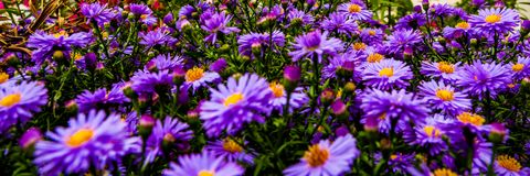 Purple daisies in the garden. Beautiful purple daisies growing in the small garden Stock Image
