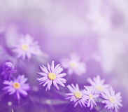 Purple daisies Royalty Free Stock Images