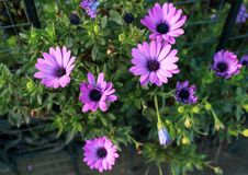Purple daisies with green foliage stock images