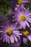 Purple Daisies & Honey Bee Stock Photos