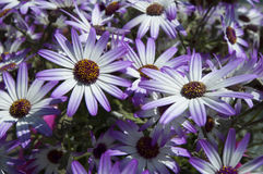 Violet daisies Stock Photography