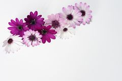 Purple daisies. Macro isolated in white background stock photography