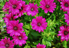 Purple Daisies After Rain Royalty Free Stock Images