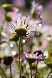 Purple daisies with rain drops Royalty Free Stock Images