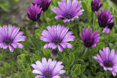 Purple daisies in the rain Royalty Free Stock Photos