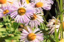Purple Daisies Royalty Free Stock Photography