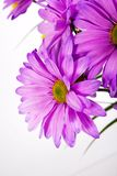 Purple daisy. On a white background Royalty Free Stock Photos