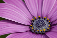 Purple daisy Royalty Free Stock Photo