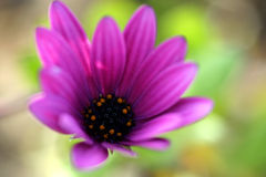 Purple Daisy. Daisy in September near San Jose, US Stock Photography