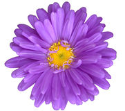 Purple daisy Stock Images