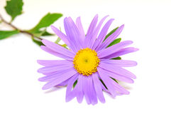 Purple Daisy Stock Photo