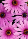 Purple daisy Royalty Free Stock Photography