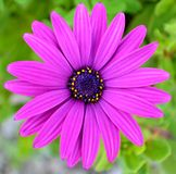 Purple daisy. Taken in close up Stock Image