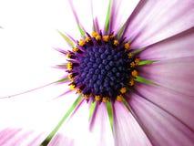 Purple daisy. Closeup and colorful Stock Photos