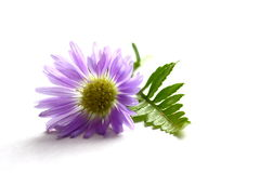 Purple Daisy. On white background with leaves Stock Images
