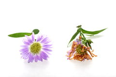 Purple Daisy. On white background with leaves representing life and death Stock Image