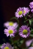 Purple daisy. Bunch of purple daisys Stock Photo