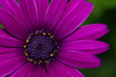 Purple daisy. Close-up of a purple daisy royalty free stock image