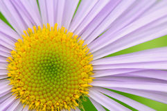 Purple daisy Royalty Free Stock Images