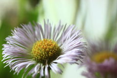 Purple Daisy. Close up of a purple daisy Stock Image