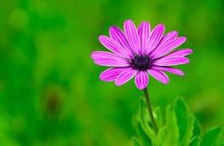 Purple daisy Stock Photography