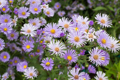 Purple daisy with colorful background. Stock Image