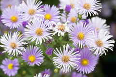 Purple daisy with colorful background. Royalty Free Stock Photo