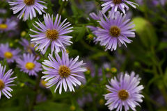Purple daisy with colorful background. Stock Photography