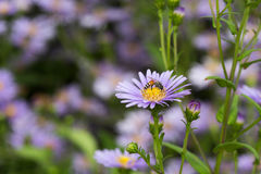 Purple daisy with colorful background. Stock Photos