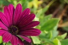 Purple daisy royalty free stock photo