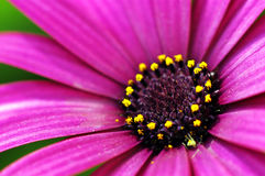 Purple Daisy Flower Stock Image