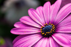 Purple Daisy Flower Stock Photo