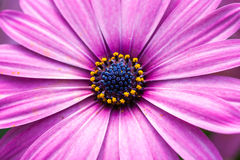 Purple Daisy Flower Royalty Free Stock Photo