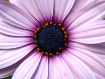 Purple daisy flower in bloom Royalty Free Stock Photography