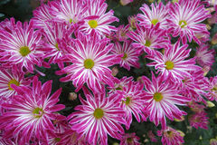 Purple daisy flower blossom Royalty Free Stock Images