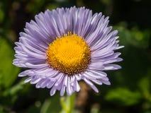 A purple daisy flower. Close up a purple daisy flower Stock Photos