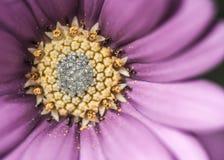 Purple Daisy Flower Close Up Stock Photos