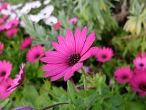 Purple Daisy. Royalty Free Stock Photo